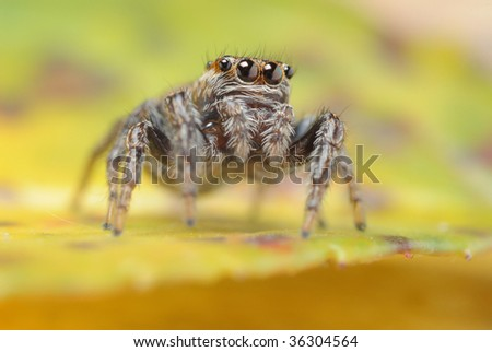 Evarcha arcuata jumping spider on a yellow leaf - stock photo
