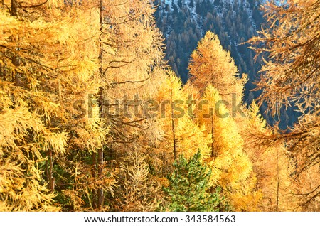 Evening light on larch trees in the Fall - stock photo