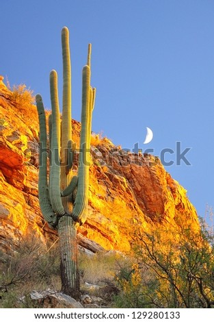 Evening light on Saguaro in Agua Caliente Canyon - stock photo