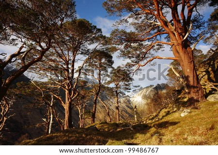 Evening light on the Scots Pine Trees in Glen Nevis, remains of the ancient Caledonian Forest that once covered vast areas of Scotland. - stock photo