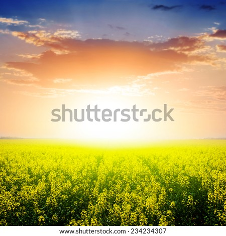 evening rape field - stock photo