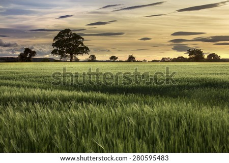 Evening sun over a crop of wheat in a farmers field. North Yorkshire in the United Kingdom. - stock photo