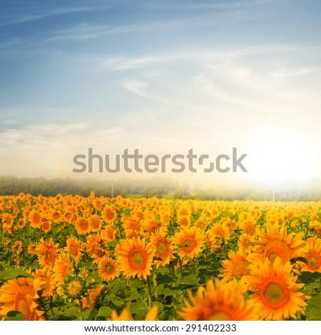 evening sunflower field - stock photo