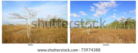 Everglades summer and winter landscape as comparison  to show the difference between the dry and the wet season in a tropical monsoon climate with a dwarf Cypress tree in the foreground and a hammock - stock photo