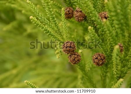 Evergreen - stock photo