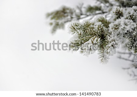 Evergreen branch covered with snow, (shallow depth of field) against a background of snow. - stock photo