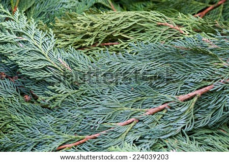 Evergreen branches used to cover flower beds against frost in winter. - stock photo