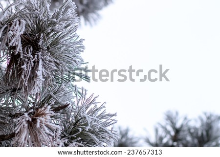 Evergreen christmas tree in frost at winter morning isolated on white background - stock photo