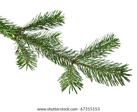 evergreen fir tree branch isolated on a white - stock photo