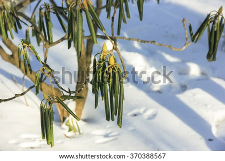 Evergreen Rhododendron catawbiense in winter - stock photo