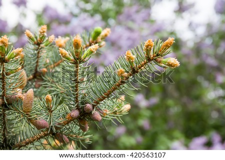 Evergreen spruce branch with young buds. Spring nature concept. macro view needle bud, soft focus. - stock photo