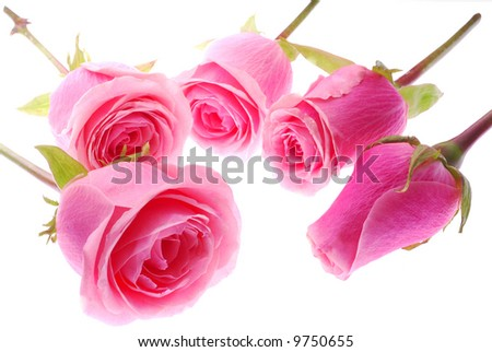 Evolution of 5 Roses - stock photo
