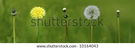 evolution period to life of the dandelion - stock photo