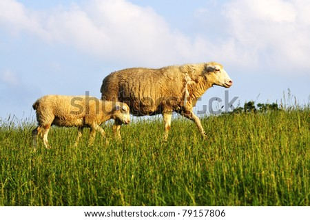 Ewe and lamb, sheep in Evening Light, family farm, Webster County, West Virginia, USA - stock photo