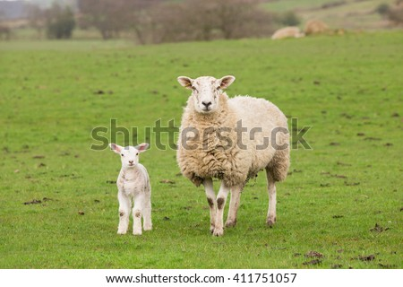 Ewe sheep and single lamb on looking on spring grass - stock photo