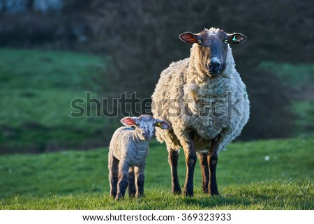 Ewe sheep with newborn lamb in spring - stock photo