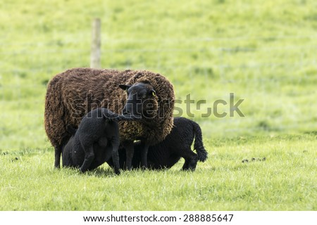 Ewe Suckling Black Lamb Twins - stock photo