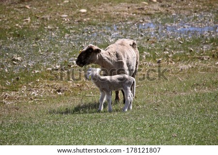 Ewe with lamb in Saskatchewan pasture - stock photo