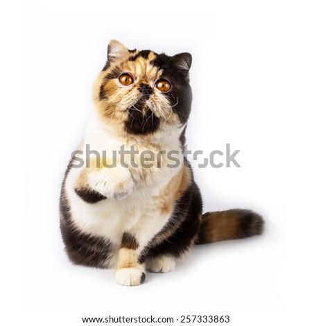 exotic breed - Calico cat   on white background - stock photo
