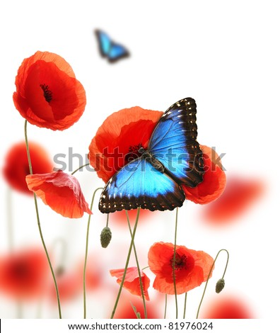 Exotic butterfly on poppy blossom, isolated on white background - stock photo
