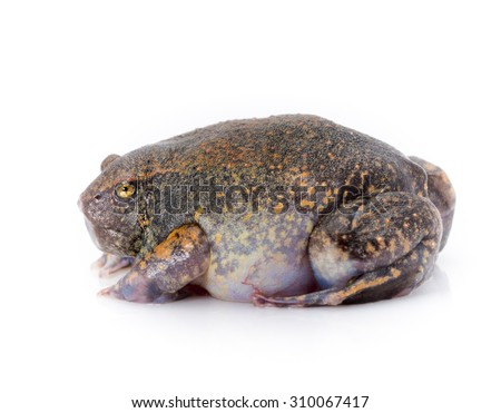 Exotic Chubby Frog inflated itself. - stock photo