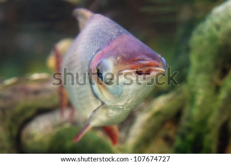 Exotic fish in the tank - stock photo