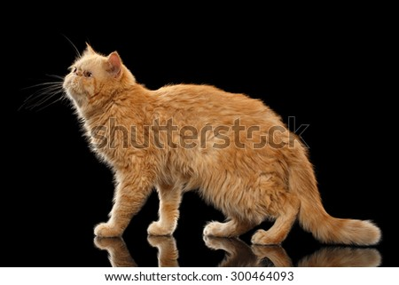 Exotic ginger cat Stands on Black mirror background - stock photo