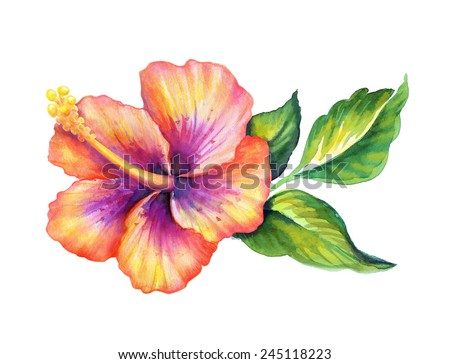 exotic hibiscus flower with green leaves, watercolor illustration isolated on white background - stock photo