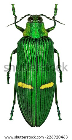 Exotic jewel beetle Catoxantha opulenta from tropical Asia - stock photo