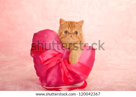Exotic kitten holding large pink satin heart shaped cushion on pink background - stock photo