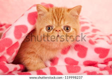 Exotic kitten lying on pink heart print fabric for Valentine theme - stock photo
