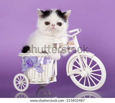 Exotic kitten on a bicycle - stock photo