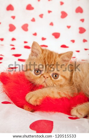 Exotic kitten on Valentine theme background with cushion faux fur rose topiary - stock photo