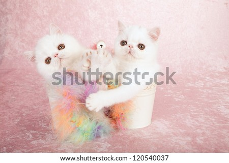 Exotic kittens sitting in double pail bucket container with multi colored feather boa on pink background - stock photo