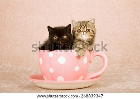 Exotic kittens sitting inside large pink cup with white polka dots on beige background  - stock photo