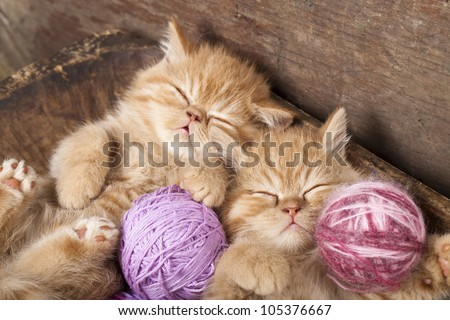 Exotic kittens   sleeping with a ball of wool - stock photo