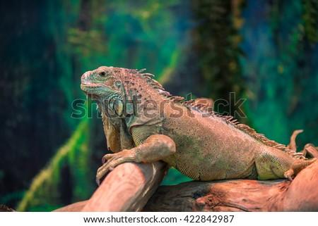 exotic lizard iguana on a branch close-up - stock photo