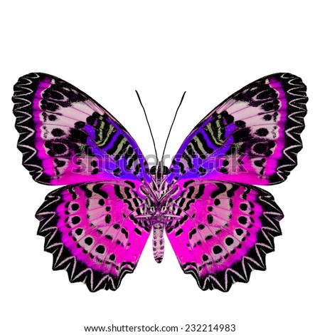 Exotic Pink Butterfly with blue wings (Leopard Lacewing) in fancy color profile isolated on white background - stock photo