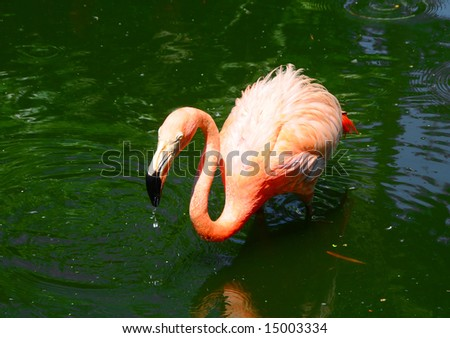 Exotic pink flamingo in a Florida swamp - stock photo