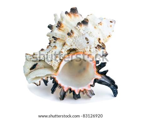exotic seashell  isolated on white - stock photo