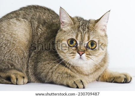 Exotic Shorthair and britain mix cat - stock photo