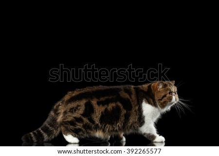 Exotic Tabby Cat Walks on mirror, Isolated on Black background - stock photo