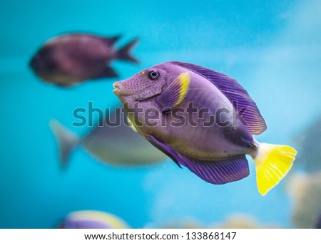Exotic tropical fish purple Yellowfin surgeonfish Acanthurus xanthopterus closeup - stock photo