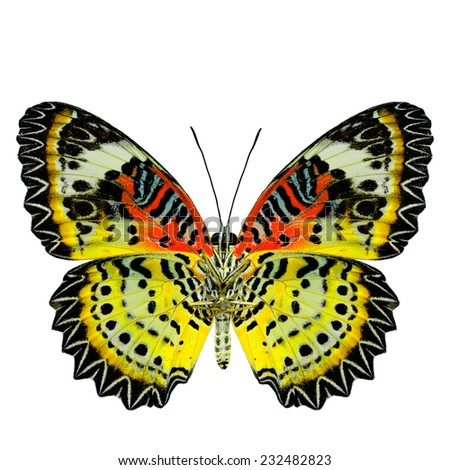 Exotic Yellow Butterfly with red wings (Leopard Lacewing) in fancy color profile isolated on white background - stock photo