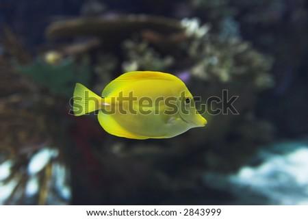 exotic yellow fish - stock photo
