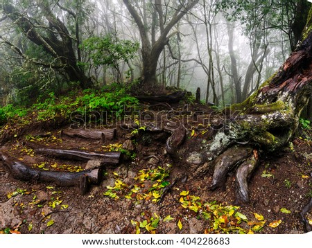 Exposed tree roots the ancient 'laurisilva' rain-forest, on the island of La Gomera.  Garajonay National Park, Canary Islands, Spain - stock photo