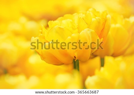 exquisite yellow tulips bloomed in early spring in a city Park, close up shot - stock photo
