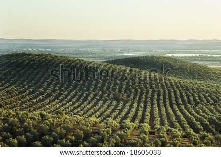 Extensive olive grove in the plains of Alentejo, Portugal - stock photo