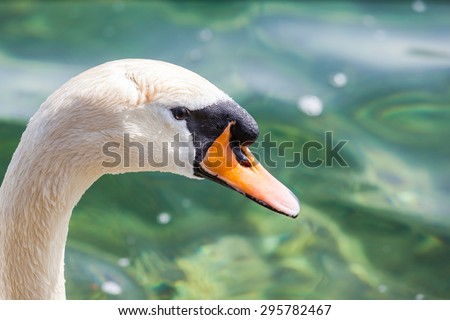 Extrem close up view of the head of swan swimming in the lake, with green water  in background. - stock photo