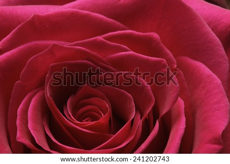 Extreme close of a red rose breaking bud - stock photo
